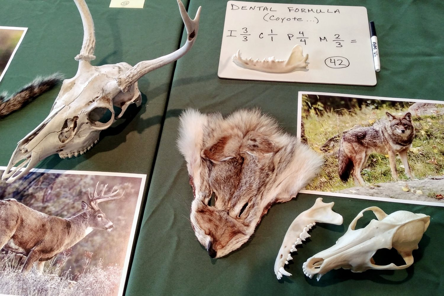 Identifying wildlife skulls