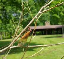 Ottawas and Cicadas