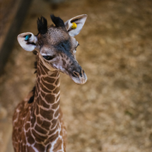 Second giraffe calf born this summer at Cleveland Metroparks Zoo