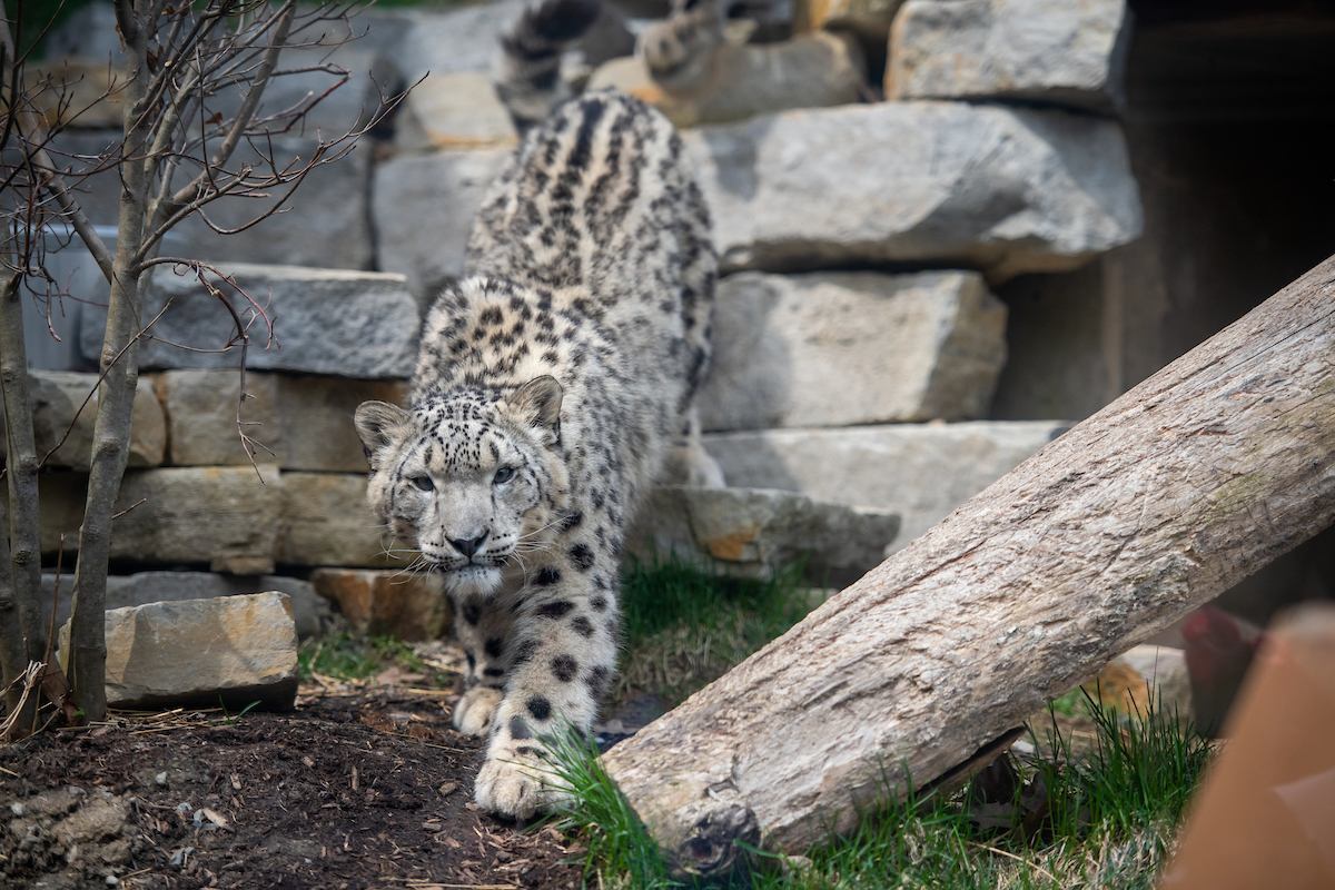 Visit Snow Leopards at Asian Highlands