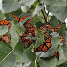 Seeing any signs of fall monarch migration yet?