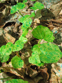 Lesser Celandine treated with herbicide