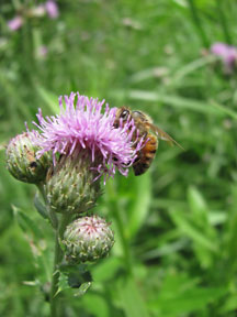 Honey bee on Canada Thistle