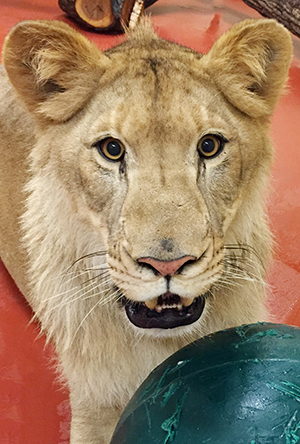 Cleveland Metroparks Zoo Welcomes Two-year-old Male Lion �Doc�