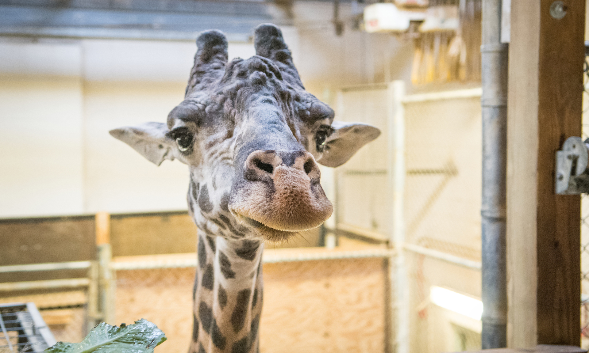 Cleveland Metroparks Zoo Welcomes Adult Male Masai Giraffe