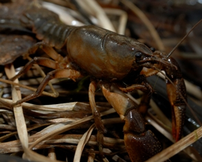 What is the best way to catch crayfish and what month will they be in the river?