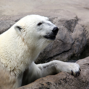 Cleveland Metroparks Zoo saddened by death of 30-year-old polar bear