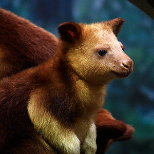 Goodfellow's Tree Kangaroo Out of the Pouch at Cleveland Metroparks Zoo