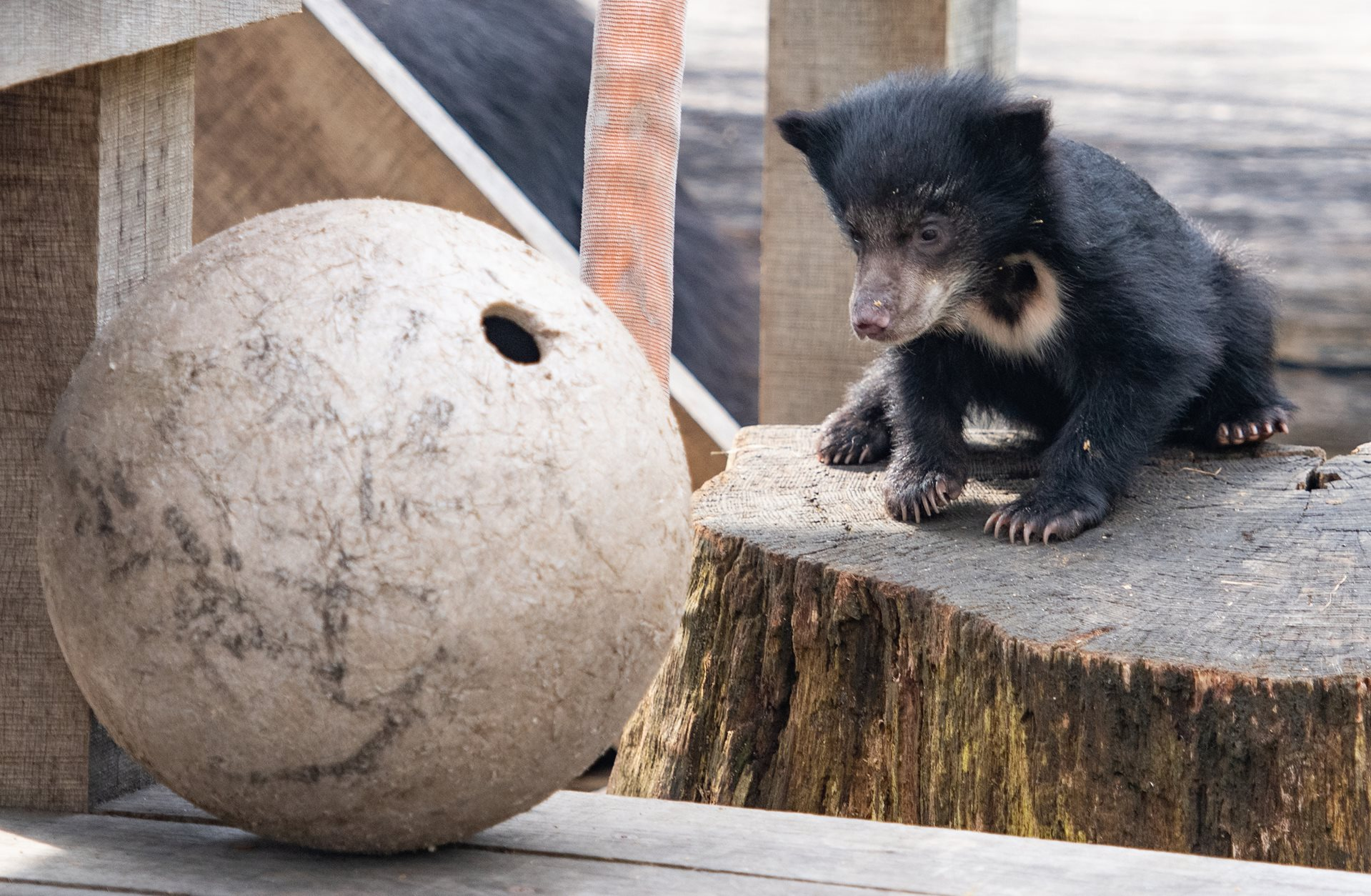 It's a Girl! Cleveland Metroparks Zoo Announces Naming Opportunity for Sloth Bear Cub