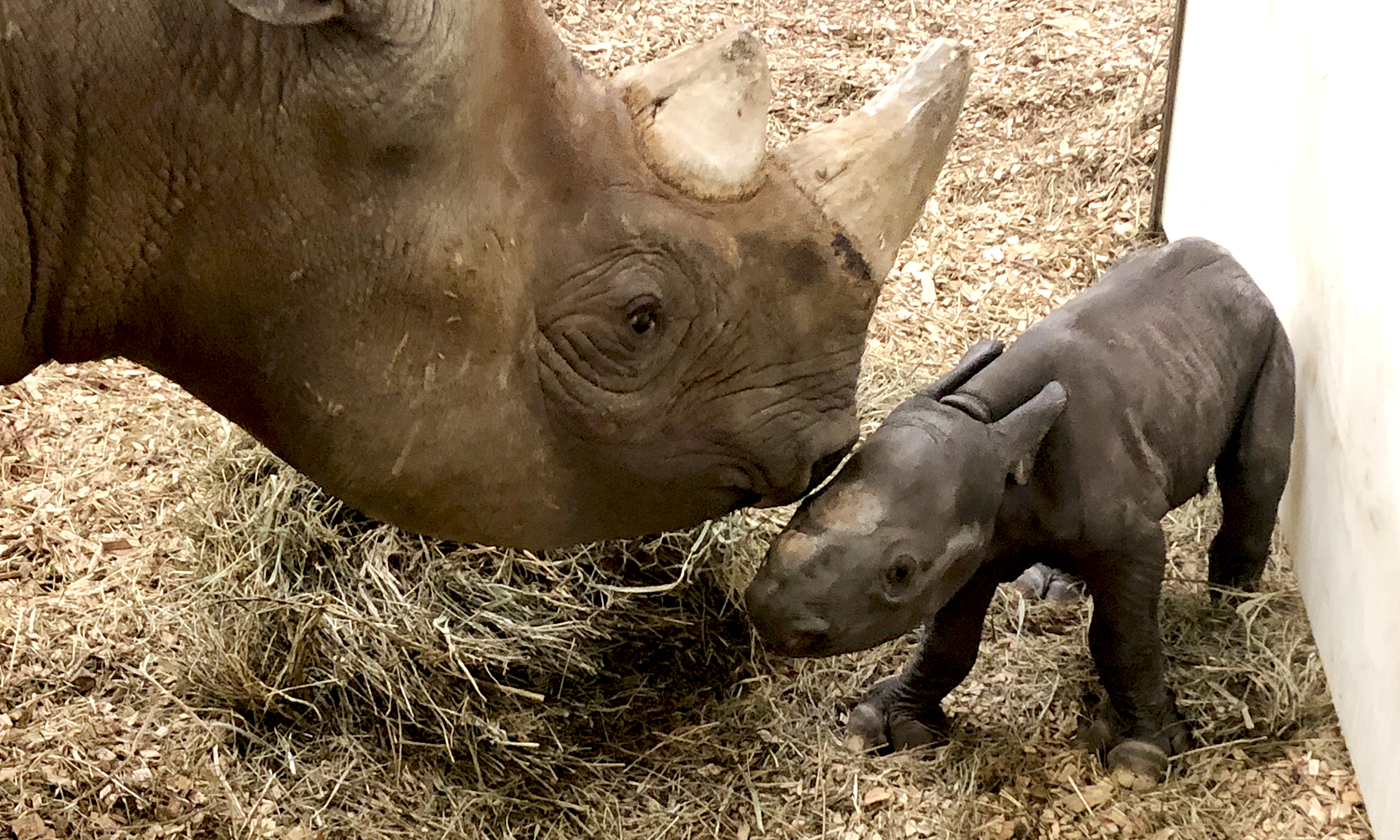 Oh Baby! Cleveland Metroparks Zoo Welcomes Newborn Rhino Calf