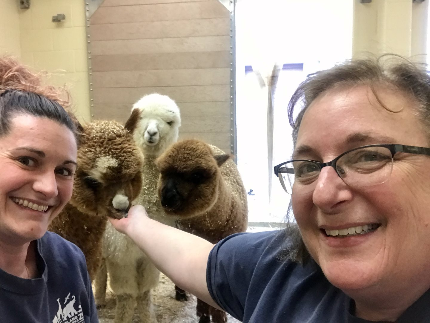 Alpacas at Cleveland Metroparks Zoo