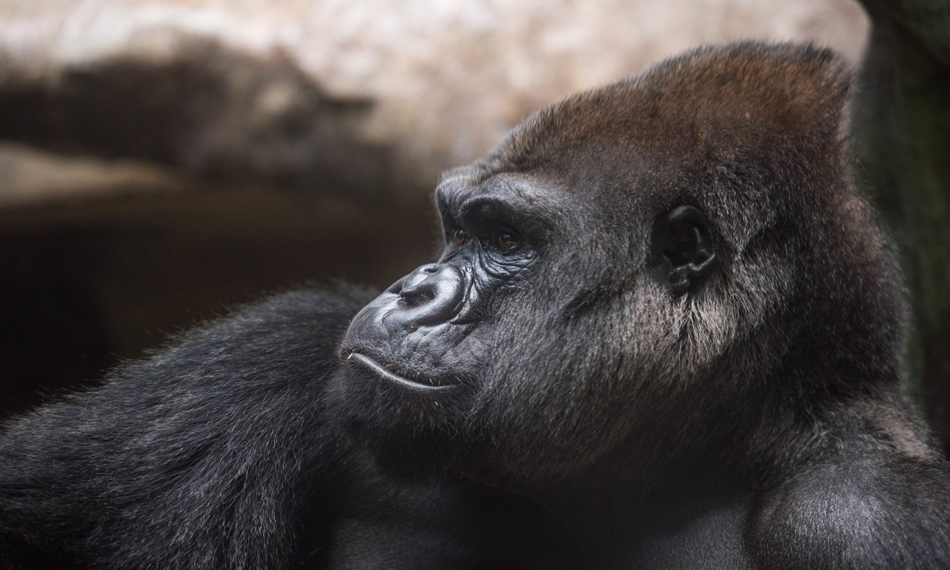 Cleveland Metroparks Zoo Welcomes Two New Female Gorillas