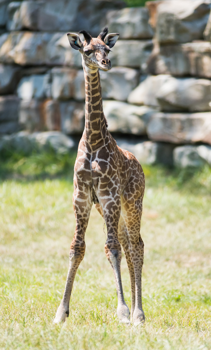 Cleveland Metroparks Zoo Announces Name for Giraffe Calf