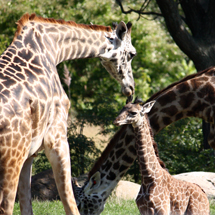 Second giraffe calf born this summer at Cleveland Metroparks Zoo is on exhibit