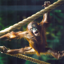 Cleveland Metroparks Zoo orangutan arrives safely in Phoenix