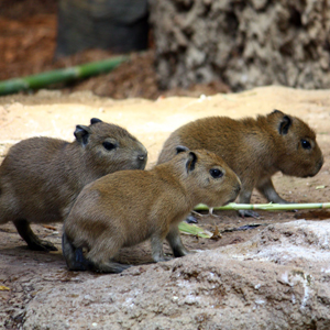 Baby capybaras born in The RainForest at Cleveland Metroparks Zoo