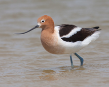 American Avocet at Edgewater!