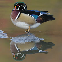 Wood Ducks of North Chagrin