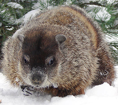Facts and Fiction Behind Groundhog Day