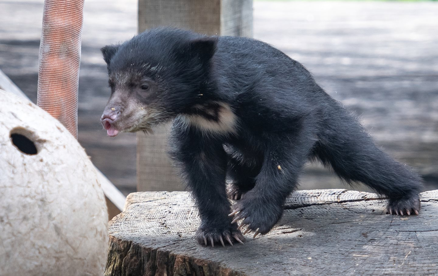 Cleveland Metroparks Zoo Reveals Name of Sloth Bear Cub